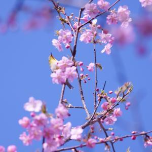 春はもうすぐ!佐保川の河津桜【奈良県奈良市】