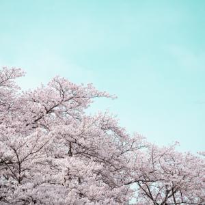 桜満開!やっぱり桜が見たくて「さくら名所100選」の清水公園に再来園 【千葉県野田市】
