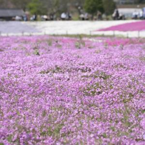 シバザクラとポピーが見頃!富田さとにわ耕園の開花状況2021【千葉県千葉市】