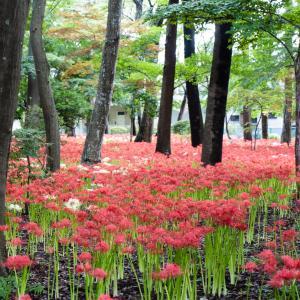 穴場スポット!祖光院の満開の彼岸花はまるで真っ赤な絨毯 2021年開花状況【千葉県松戸市】