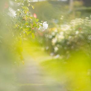 京成バラ園 秋のバラの開花状況 2021 & ふんわり可愛い薔薇の撮り方【千葉県八千代市】