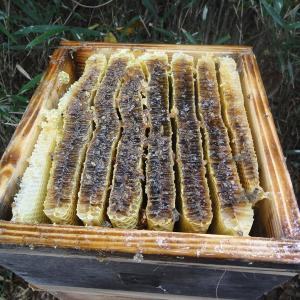 ♪日本ミツバチ、再び採蜜♪