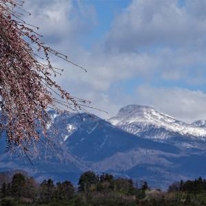 ♪桜の季節到来♪