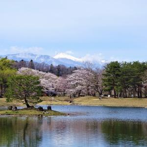 ♪桜が咲いた、キジ♂が居た♪