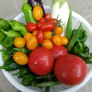 庭の夏野菜を収穫 その8