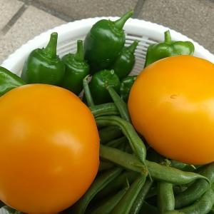 庭の夏野菜を収穫 その9