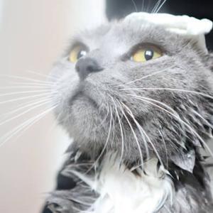 お風呂場でシャンプーされる猫の様子を激写