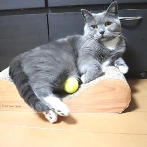 スポンジボールのおもちゃがお気に入りの猫