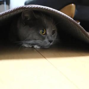 カーペットにもぐる猫|ブリティッシュショートヘア