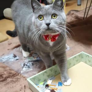 クリスマスプレゼントのレゴ(LEGO) と猫|ブリティッシュショートヘア