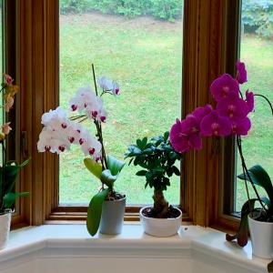 蘭の花満開中です。