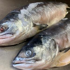 時鮭の2.3kgが入荷!