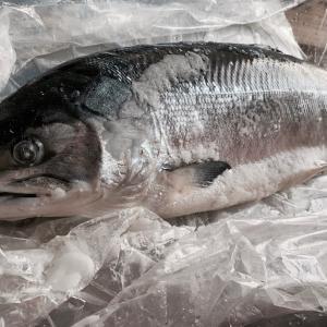 圧巻の ! 一本釣り新物時鮭3.5kg ! 入荷