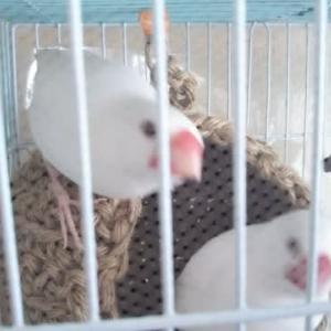 小鳥~ズ 白文鳥,桜文鳥,ボタンインコ