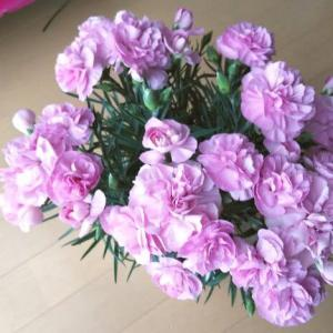 母の日のカーネーション鉢、秋もう一度咲かせるには切戻しと植替え