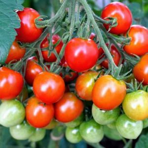家庭菜園におすすめの夏野菜。大量収穫を目指すならおすすめはコレ!