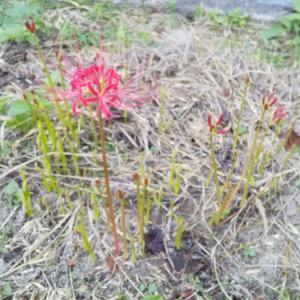 2922花●赤い彼岸花#2開花●