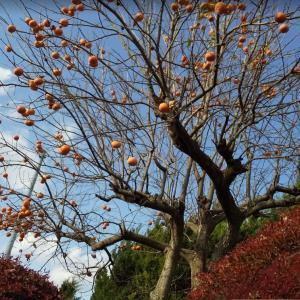 2x29柿●柿の収穫●