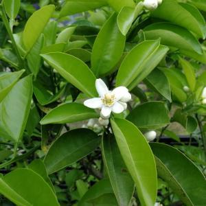 甘夏とレモンの花