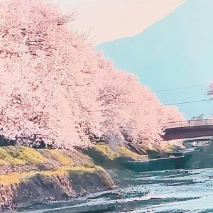 安曇野の爛漫桜♡