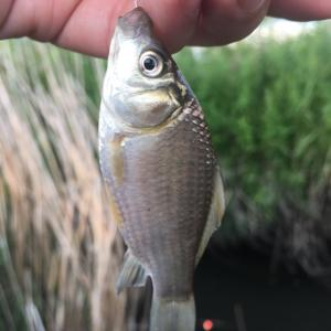 ホソで小鮒釣り 夏が来た!