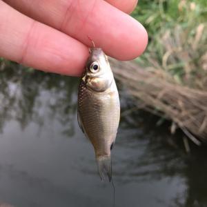 ホソで小鮒釣り そろそろホンキ