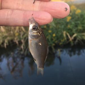 ホソで小鮒釣り 出遅れたっ!