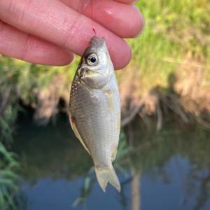 ホソで小鮒釣り か・蚊・カ・・・