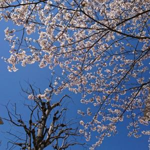 長女犬14歳の誕生日~桜が綺麗に咲きました