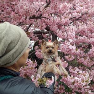 2年前と6年前の桜(少々)・・・ と あほな動画