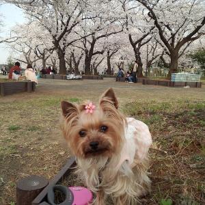 5年前と7年前の桜(少々)・・・ と バカ親動画
