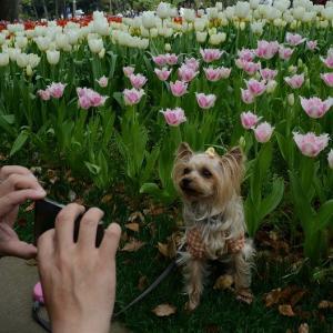 いつも桜の次はチューリップでした・・・