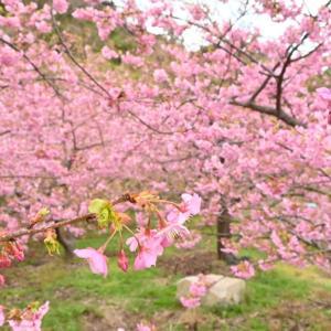 周防大島町の桜