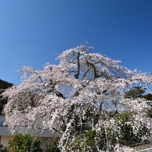 三和町敷名の枝垂れ桜