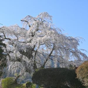 S邸の枝垂れ桜