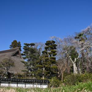 茅葺き民家の枝垂れ桜