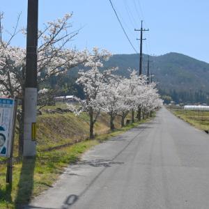 直線桜・曲線桜