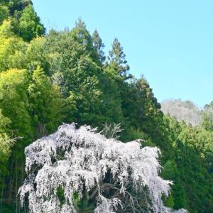 夜泣き地蔵の枝垂れ桜