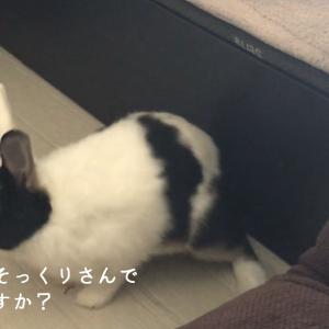 【12月2日】今日の長十朗さん 衝撃の白黒模様 【うさぎ 写真】