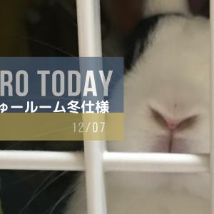 【12月7日】今日の長十朗さん ちょーじゅールーム冬仕様 【うさぎ 写真】