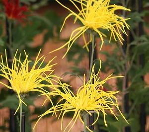 「 菊祭り 」  神代植物公園