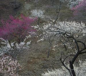 日本画制作 「 朱鷺飛翔  薄墨桜 」 10F