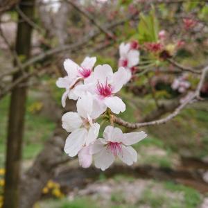 桜……散りましたね