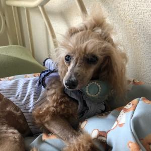 【オシャレDog】ねむりの森のアラン【保護犬トイプードル】