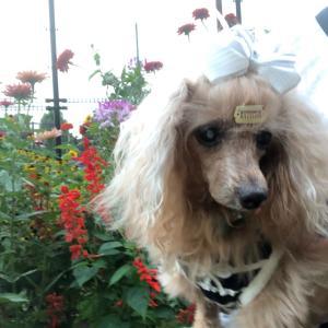 【おしゃれDog】おしゃれなわんこ落ち葉を走る【保護犬トイプードル】