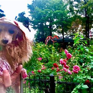 こんなに綺麗で咲き誇っている秋薔薇ワンコは抱っこでもスリングでも入れないなんて、残...