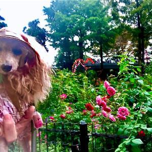 秋薔薇とアランAutumn roses and Alan#go_with_pet#...
