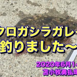 【釣り】苫小牧勇払埠頭でクロガシラGET!! 人生初の44cm♪