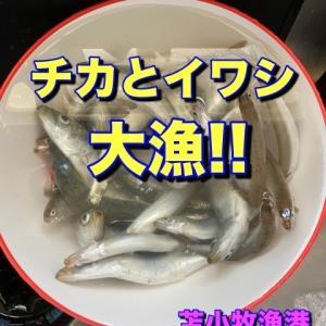 【釣り】チカとイワシが大漁だ in苫小牧西港