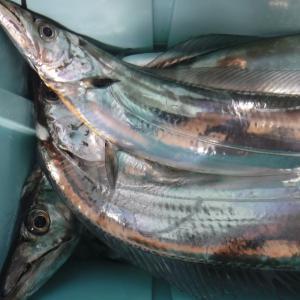 巨大太刀魚の兜焼き